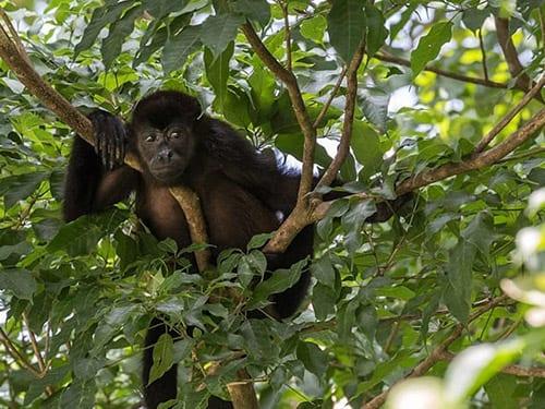 Boca Chica Panama - howler Monkey