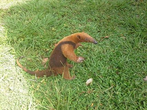 Ant eater Cala Mia Resort Panama