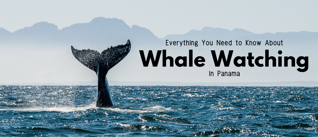 Everything You Need to Know About Whale Watching in Panama