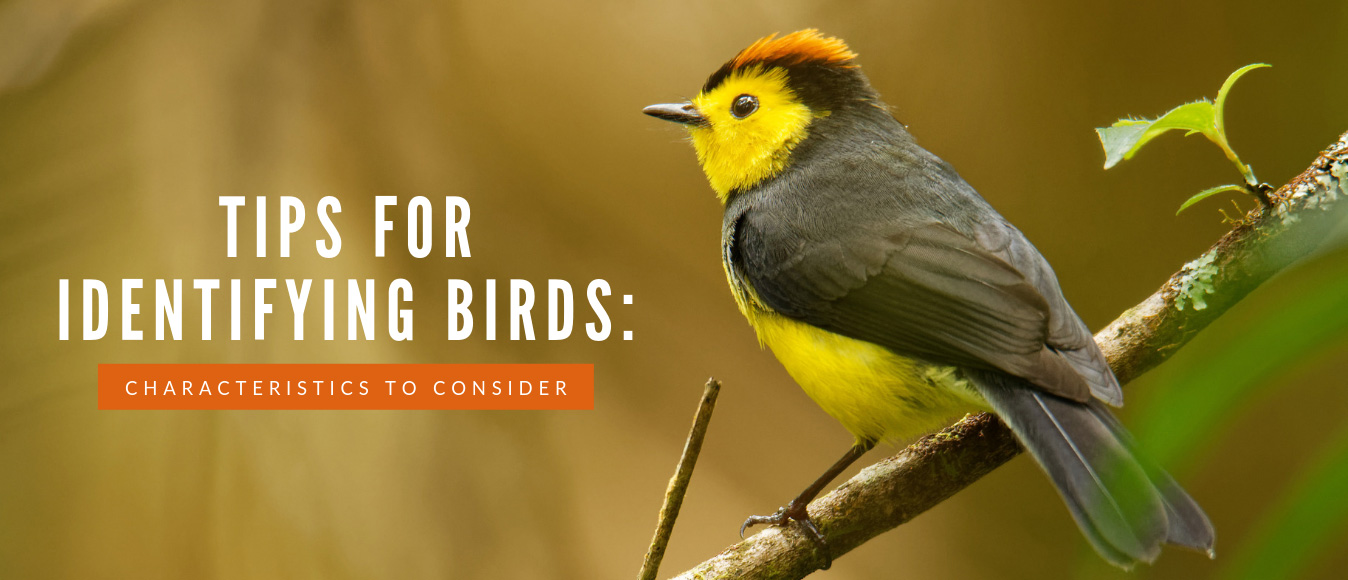 Tips for Identifying Birds Characteristics to Consider