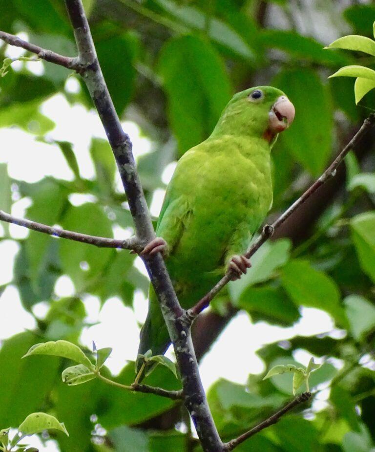 Birdwatching in Panama with Cala Mia