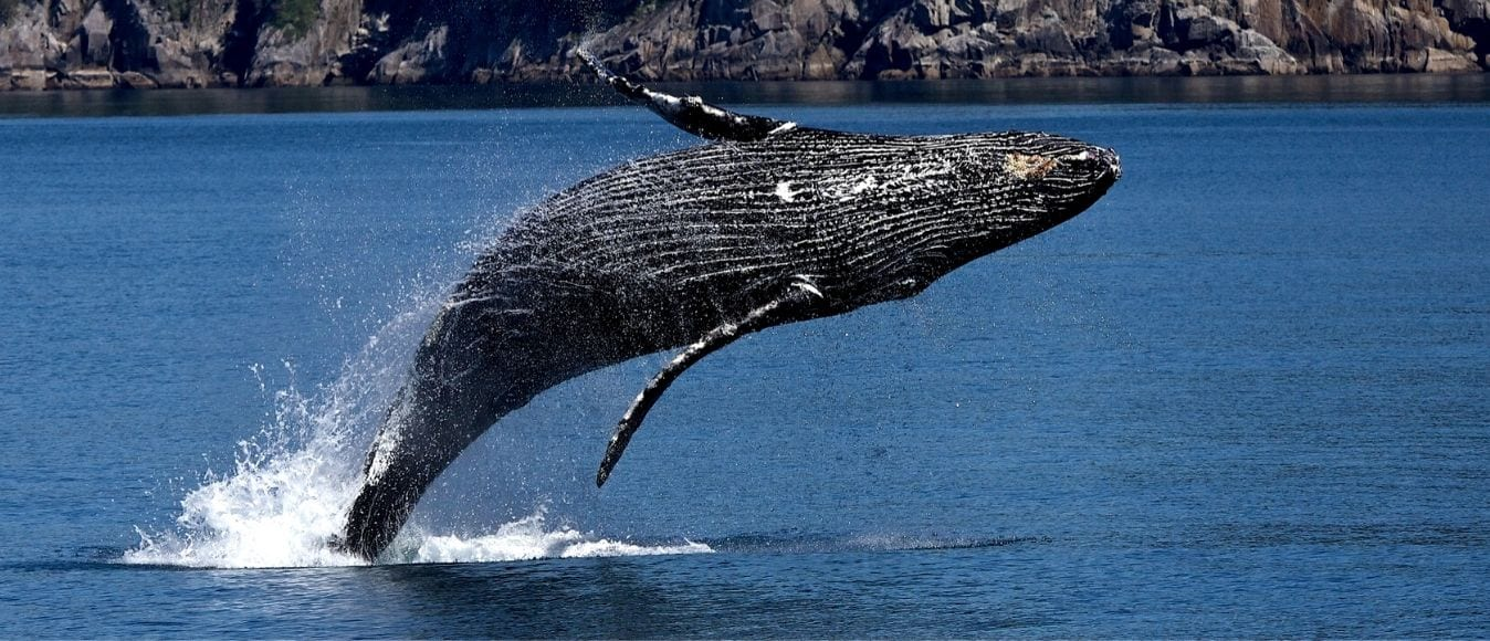 A Guide to Humpback Whale Behavior