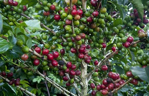 Panamanian coffee