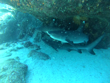 isla secas white tip shark dive