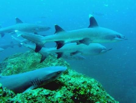 Coiba White Tip Sharks